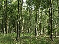Moore's Wood - geograph.org.uk - 265699.jpg