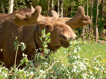 A bull moose grows a new pair of antlers every...