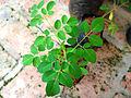 Moringa oleifera2.jpg