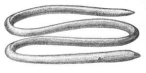 Moringuidae - Moringua javanica