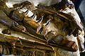 Mosasaurus hoffmanni 1766 7424 Teylers Museum 7112012.jpg