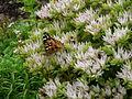Motýl na květinách - Humpolec.JPG
