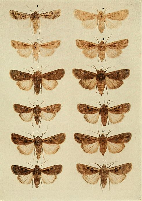 Moths of the British Isles Plate106.jpg