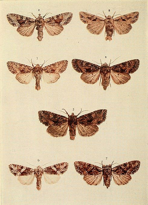 Moths of the British Isles Plate121.jpg