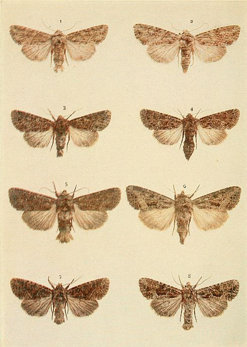 Moths of the British Isles Plate131.jpg