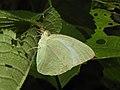 Mottled Emigrant Catopsilia pyranthe by Dr. Raju Kasambe DSCN1987 (4).jpg
