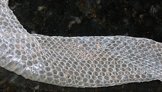 Nelson's milksnake - Moulted skin of an albino Nelson's milksnake with 21 rows of scales