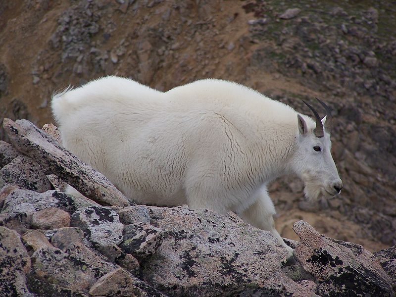 Soubor:Mountain Goat on Mount Huron in Colorado image 1.jpg