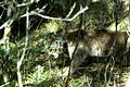 Mountain lion with radio collar.jpg