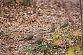 Mourning dove (38518892805).jpg