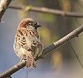 Mr Sparrow (33828001956).jpg