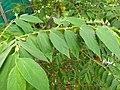 Muntingia calabura- Jamaica Cherry, Panama Cherry, Singapore Cherry. 3.jpg