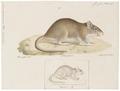 Mus decumanus - 1700-1880 - Print - Iconographia Zoologica - Special Collections University of Amsterdam - UBA01 IZ20500083.tif
