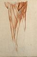 Muscles and tendons of the thigh. Red chalk and pencil drawi Wellcome V0008263ER.jpg