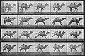 Muybridge, Eadweard - Galoppierendes Kamel im Querlauf (0.32 Sekunden) (Zeno Fotografie).jpg