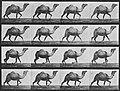Muybridge, Eadweard - Schreitendes Kamel (0.24 Sekunden) (Zeno Fotografie).jpg