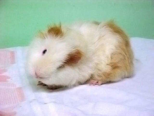 Guinea pig - Howling Pixel