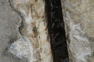 <i>Myotis macropus</i>