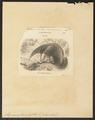 Myrmecophaga jubata - 1700-1880 - Print - Iconographia Zoologica - Special Collections University of Amsterdam - UBA01 IZ21000041.tif