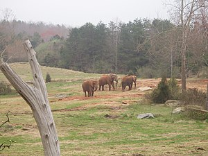 North Carolina Zoo - Several African elephants roam the Watani Grasslands exhibit