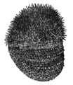 NSRW Sea-Urchin.png
