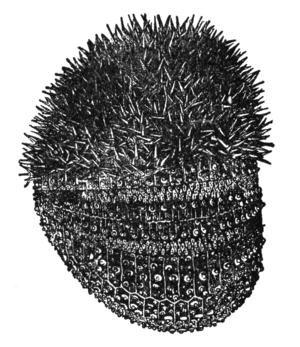 NSRW Sea-Urchin