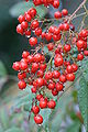Nandina domestica -fruits 01.jpg