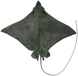 Naru Eagle Ray dors.png
