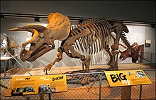 National Museum of Natural History August 2018 09 Triceratops 16.jpg
