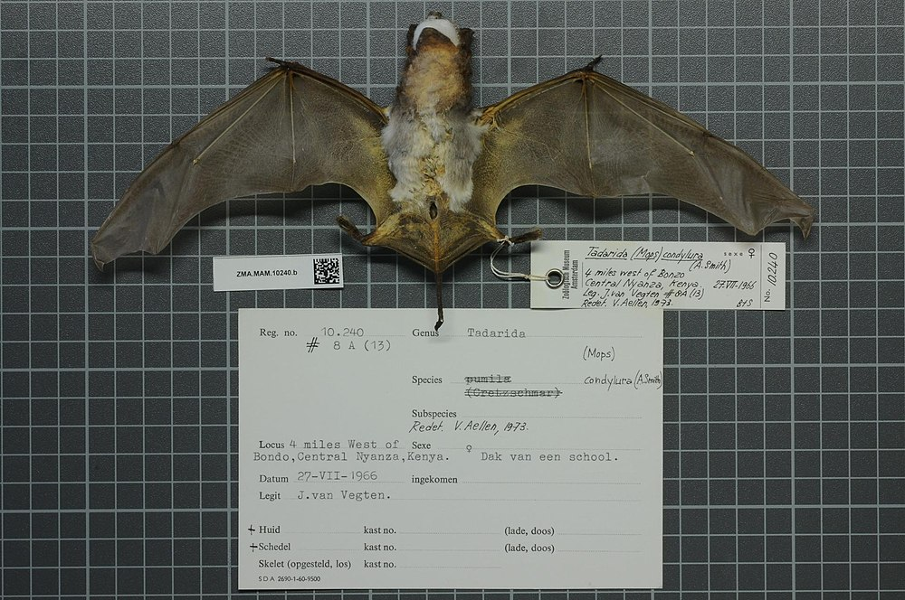The average litter size of a Angolan free-tailed bat is 1