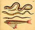 Naturgeschichte in Bildern mit erläuterndem Text (Taf. XXIV) (6059207144).jpg
