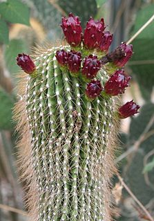 <i>Neobuxbaumia polylopha</i> species of plant