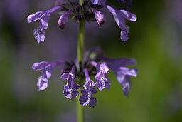 List of flower names n nepeta sibirica flower detail mightylinksfo