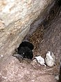 Nesting crevice pigeon guillemot.jpg