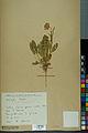 Neuchâtel Herbarium - Anthyllis cherleri - NEU000034021.jpg