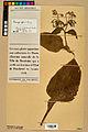Neuchâtel Herbarium - Borago officinalis - NEU000020571.jpg