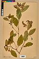 Neuchâtel Herbarium - Impatiens noli-tangere - NEU000019943.jpg