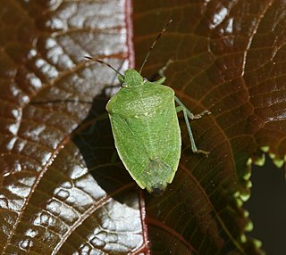 Pentatomidae Family of insects