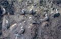 Noio flock at Wainapanapa 1.jpg