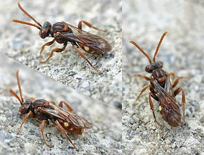 Rote Wespenbiene (Nomada armata)