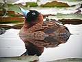 Nomonyx dominicus Pato enmascarado Masked Duck (15298922442).jpg