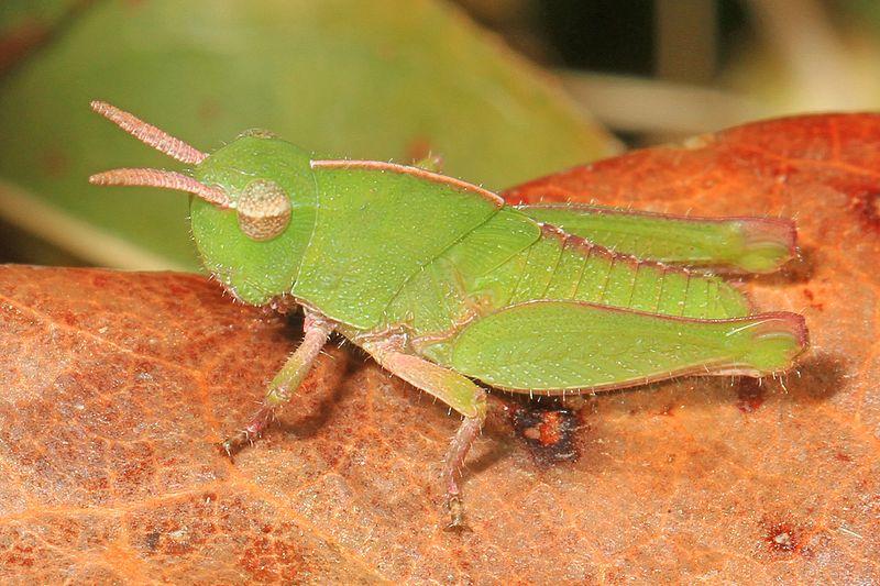 Green-Striped Grasshopper (Chortophaga viridifasciata)
