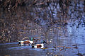 Northern Shovelers (Anas clypeata) (20401706386).jpg