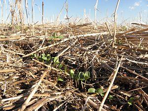 Cover crop - Cover crop in South Dakota