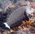 Novaculichthys taeniourus EOL.jpg