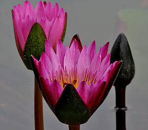 Nymphaea nouchali - Fuchsia-colored N. nouchali in Hyderabad