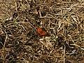 Nymphalis xanthomelas - Yellow-legged tortoiseshell (40257367935).jpg