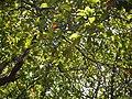 Oblong Wild Olive (5780200108).jpg