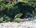 Ocellated Lizard. Lacerta lepida - Flickr - gailhampshire.jpg