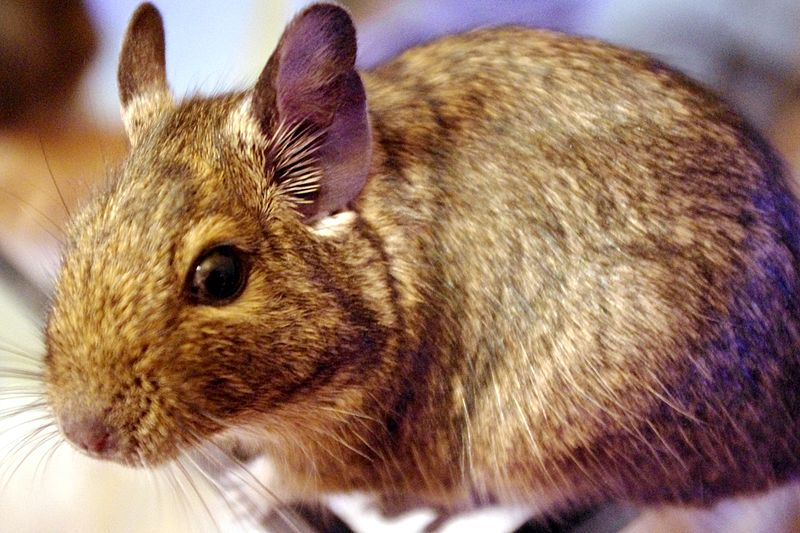 Plik:Octodon degus colouration.jpg